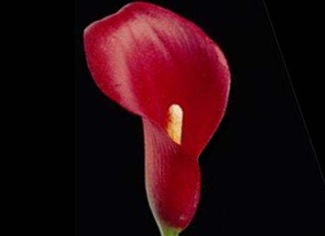 Mini Calla Lilly